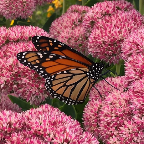 Monarch on Sedum